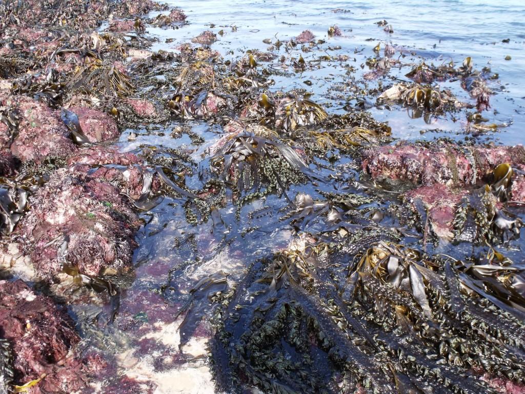Algues Cap d'Erquy 2