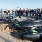 Baleines échouées Calais