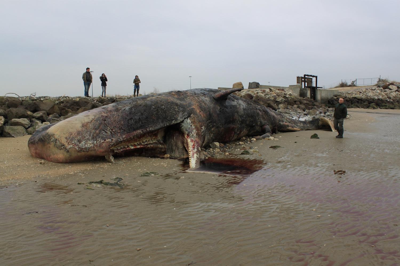 cause échouage baleines