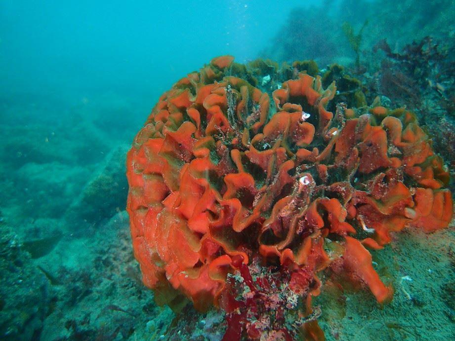 Pentapora fascialis ROSE DES MERS